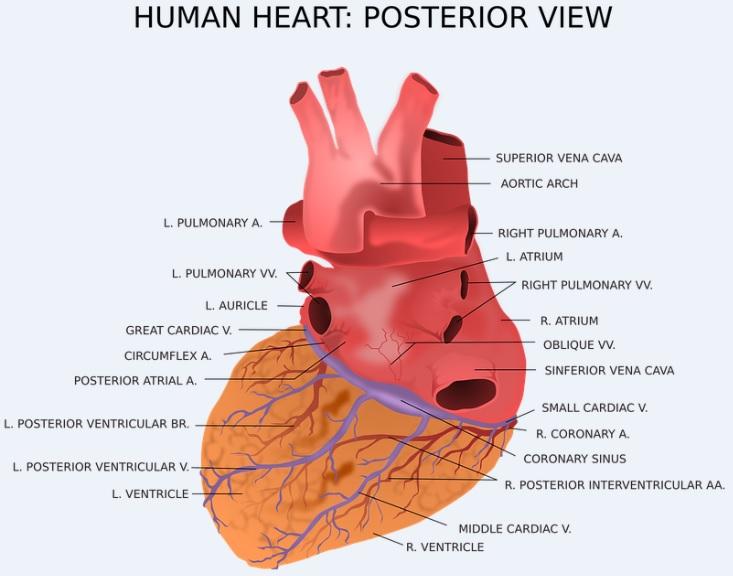 Anatomie du cœur et ses Vaisseaux