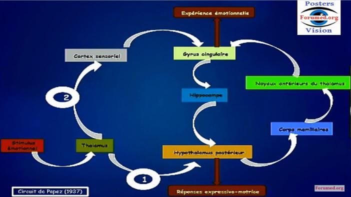 Physiologie neuroendocrinienne de l'Émotion le stress émotionnel humeur cérébrale Hormonale