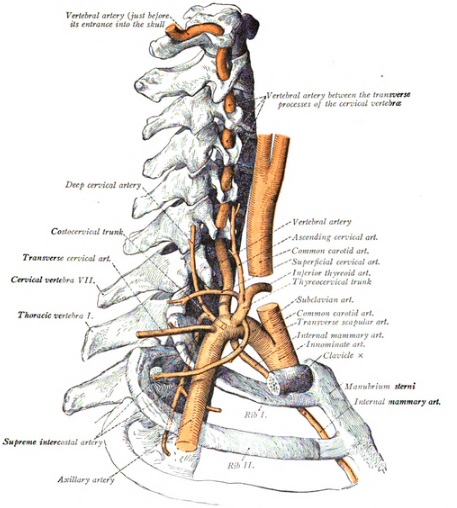 SYNDROME DU DEFILE COSTO CLAVICULAIRE anatomy